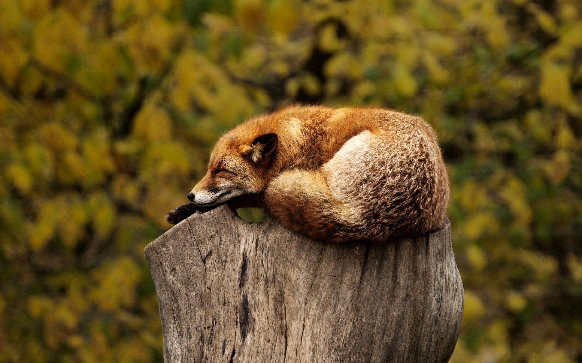 zorro descansar arbol