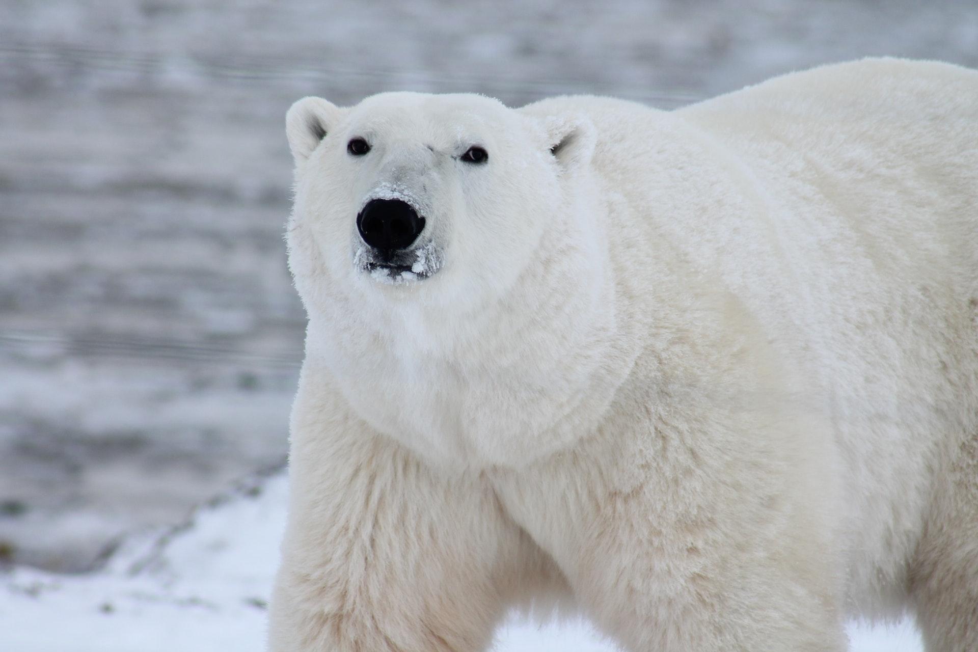oso polar artico blanco
