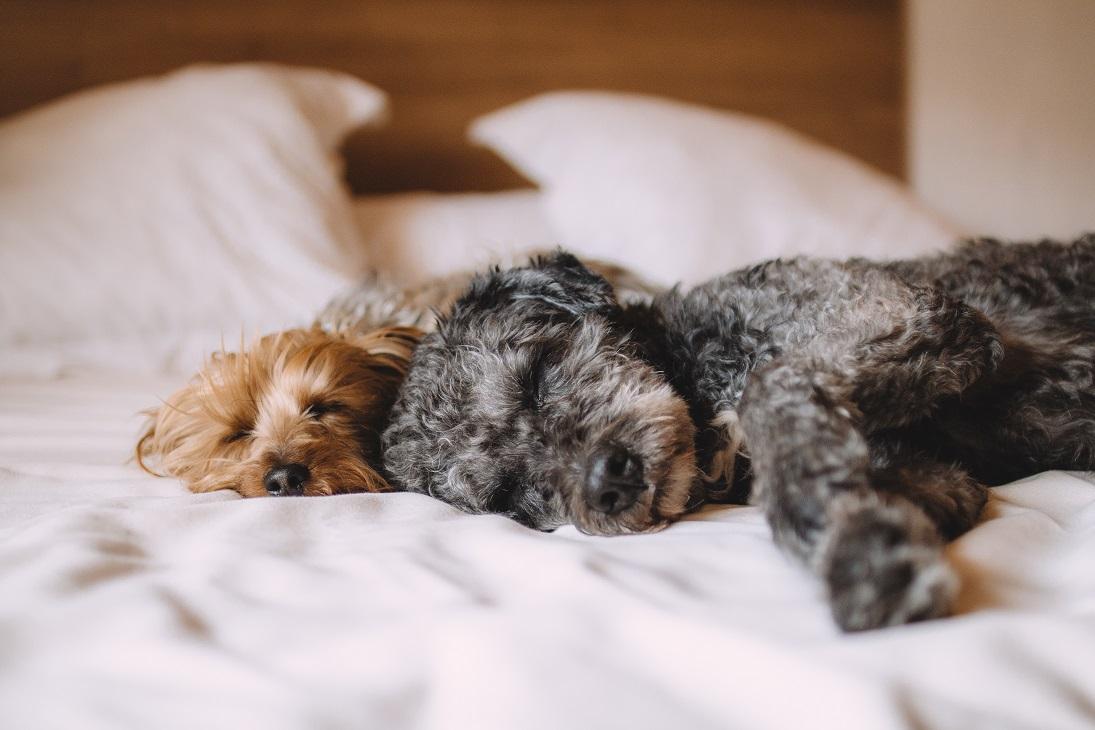 perros dormir cama
